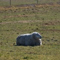 Single sheep lying down