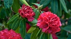 Clusters of bright red rhododendron flowers