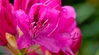 Hot pink rhododendron flower