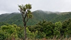 Cabbage Tree in green misty hills