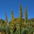 Forest of flowering Spanish Speargrass and blue sky