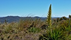 Flowering Spanish Speargrass and Silver Peaks skyline