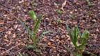 Bunch of greenhood orchids (Pterostylis auriculata)