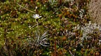 Small white daisy flower among mosses and sundews