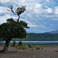 Rata tree on the beach