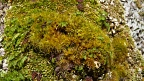Mosses on beech tree