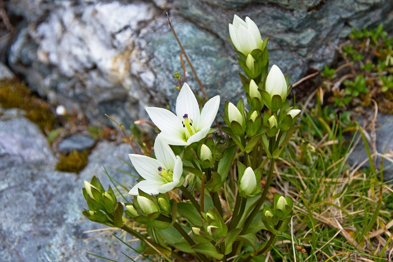 White gentian flowers