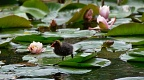 Chick of Australian coot by water lilies