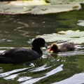 Australian coot with a chick