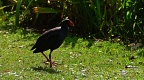 Backlit pukeko