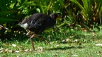 Pukeko walking
