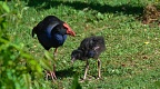 Pukeko with a baby