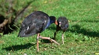 Pukeko feeding a chick