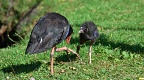 Pukeko and a chick