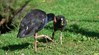 Pukeko teaching its chick