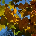 Autumn maple leaves and blue sky