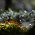 Detail of moss in beech forest