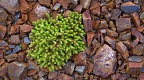Clump of hardy green plant among orange gravel