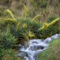 Spanish speargrass by a creek