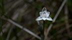 Common sun orchid (Maikuku, Thelymitra longifolia)