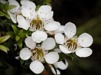 Manuka flowers (Leptospermum scoparium)