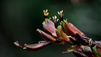 Red flax flowers (Phormium)