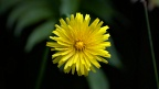 Yellow hawkweed flower