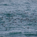 Shags, seagulls, and terns at sea