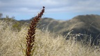 Spanish speargrass pollinated flower