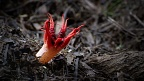 Stinkhorn mushroom (Aseroe rubra) with a fly hiding