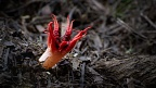 Stinkhorn mushroom (Aseroe rubra) with a big fly