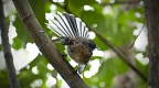 New Zealand fantail showing off his tail