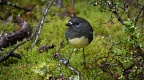 South Island robin and green moss