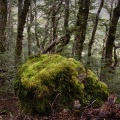 Mossy boulder in beech forest