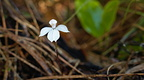 Small white orchid (Caladenia lyallii)