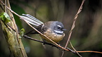 Perched fantail