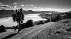 Famous cabbage tree and Otago Harbour