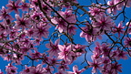 Pink magnolia flowers and blue sky