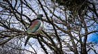Wood pigeon in Spring