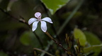 White fingers orchid (Caladenia lyallii)