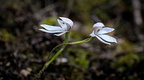 Twin white fingers orchids (Caladenia lyallii)